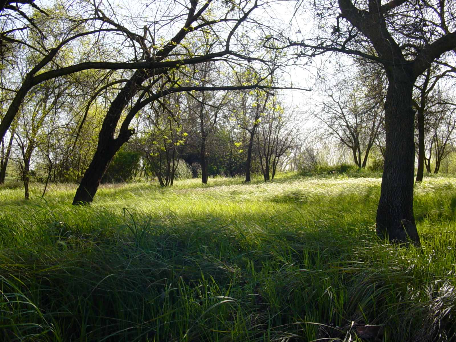 Riparian understory along the Sacramento River