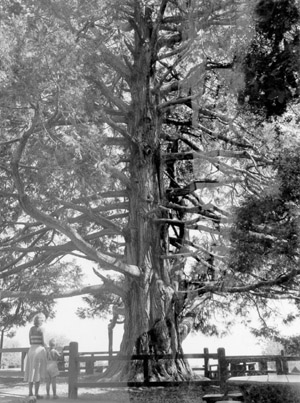 Large tree in picnic area, with CCC tables