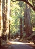 Redwood trees lining dirt path