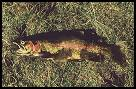 Image of rainbow trout