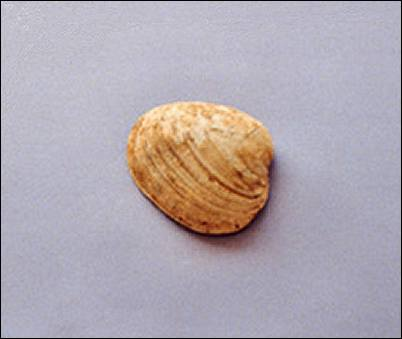 Image of clam