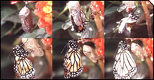Transformation from a chrysalis to a butterfly