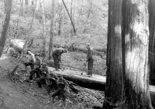 CCC crew cutting redwood tree at Mount Tamalpais