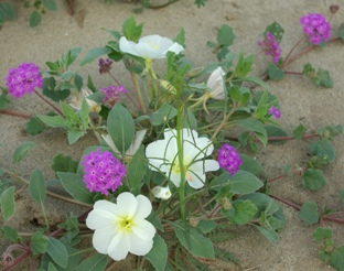 Sand verbena and dune evening primrose wildflowers at Anza-Borrego Desert State Park