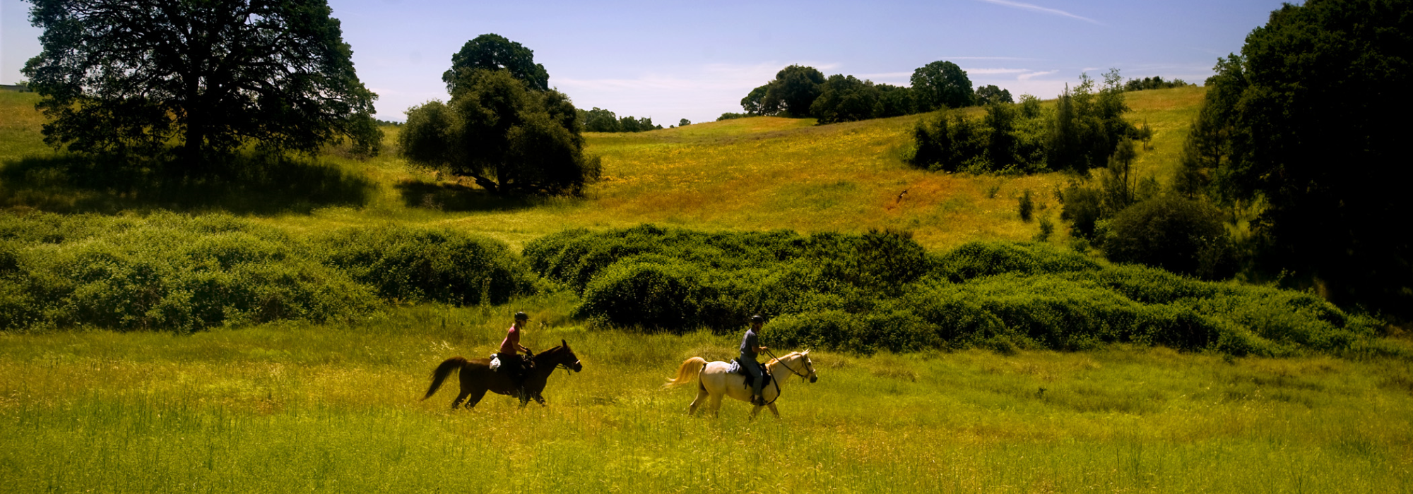 Horses galloping the fields
