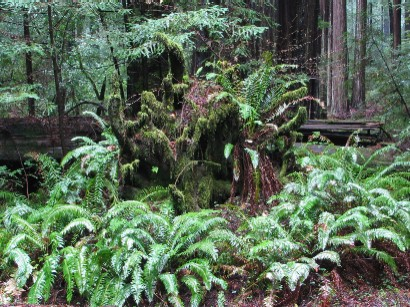 Ferns on Old Fallen Tree