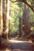 Photo: View of a trail leading through the forest at Armstrong Redwoods State Natural Reserve.