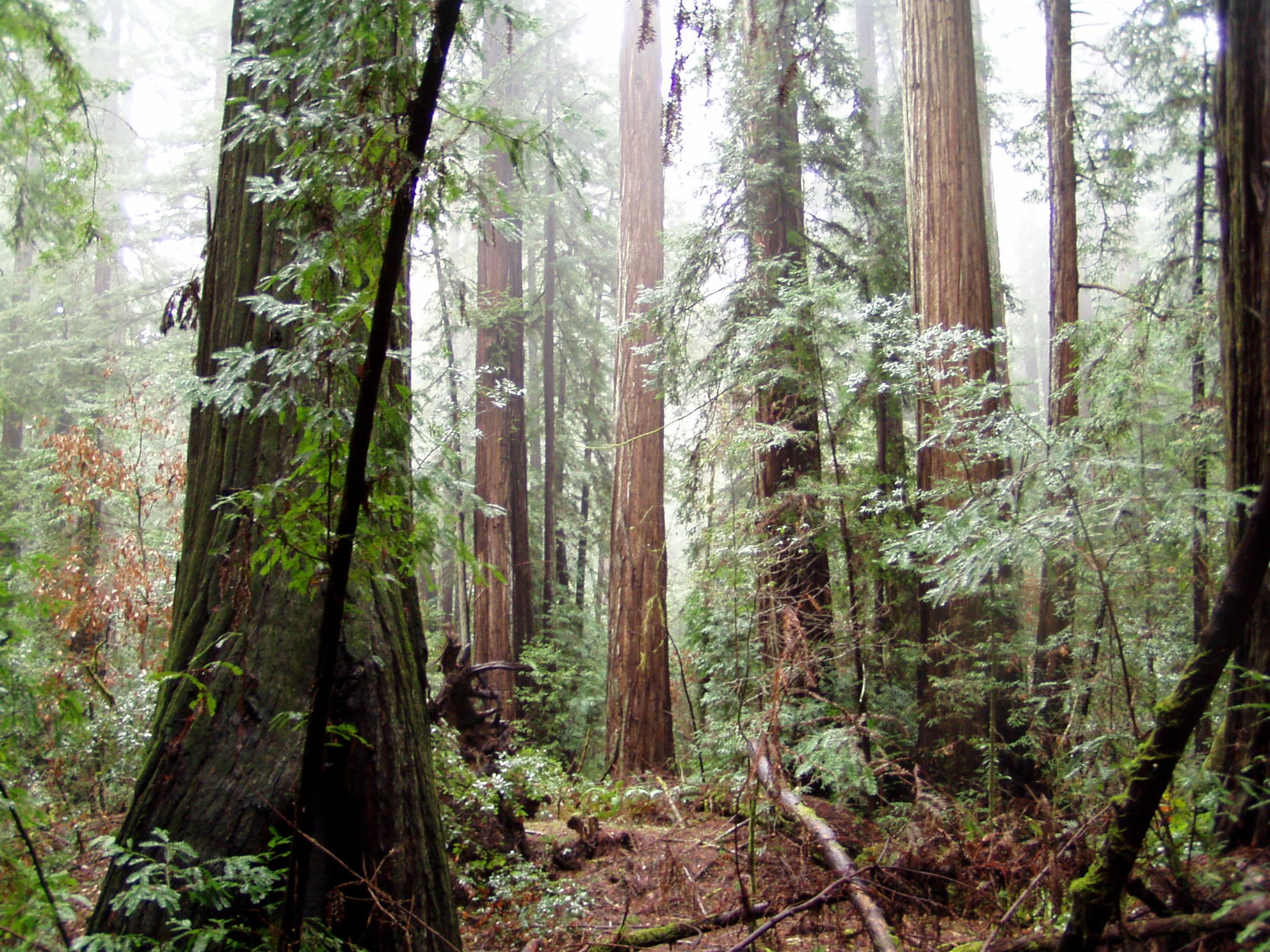 Armstrong Redwoods image