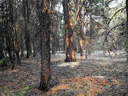 Figure 1. Mixed-conifer forest north of Pioneer Campground Loop.  Forest Thinning in early 1980s.  Burn priority: First.