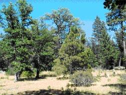 Figure 3.  Pine/oak woodland northeast of Pioneer Campground loop.  Burn priority: Third.