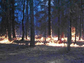 Figure 3.  Where the flames were pushed by the wind through the ground fuels, the intensity was moderate.