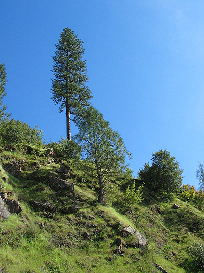 Trees on a hillside on in the Auburn SRA.