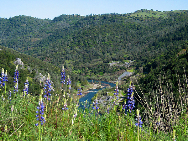 Wildflower on a hillside overlooking the American River with hills in the background.