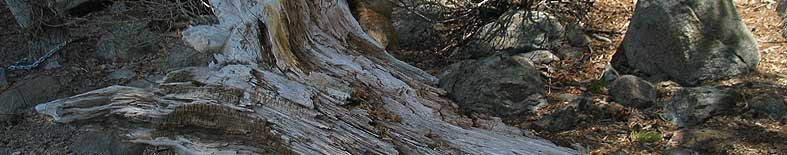 View of tree trunk at Donner Memorial SHP
