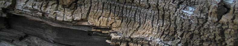 View of wood grain of fallen tree at Donner Memorial SHP