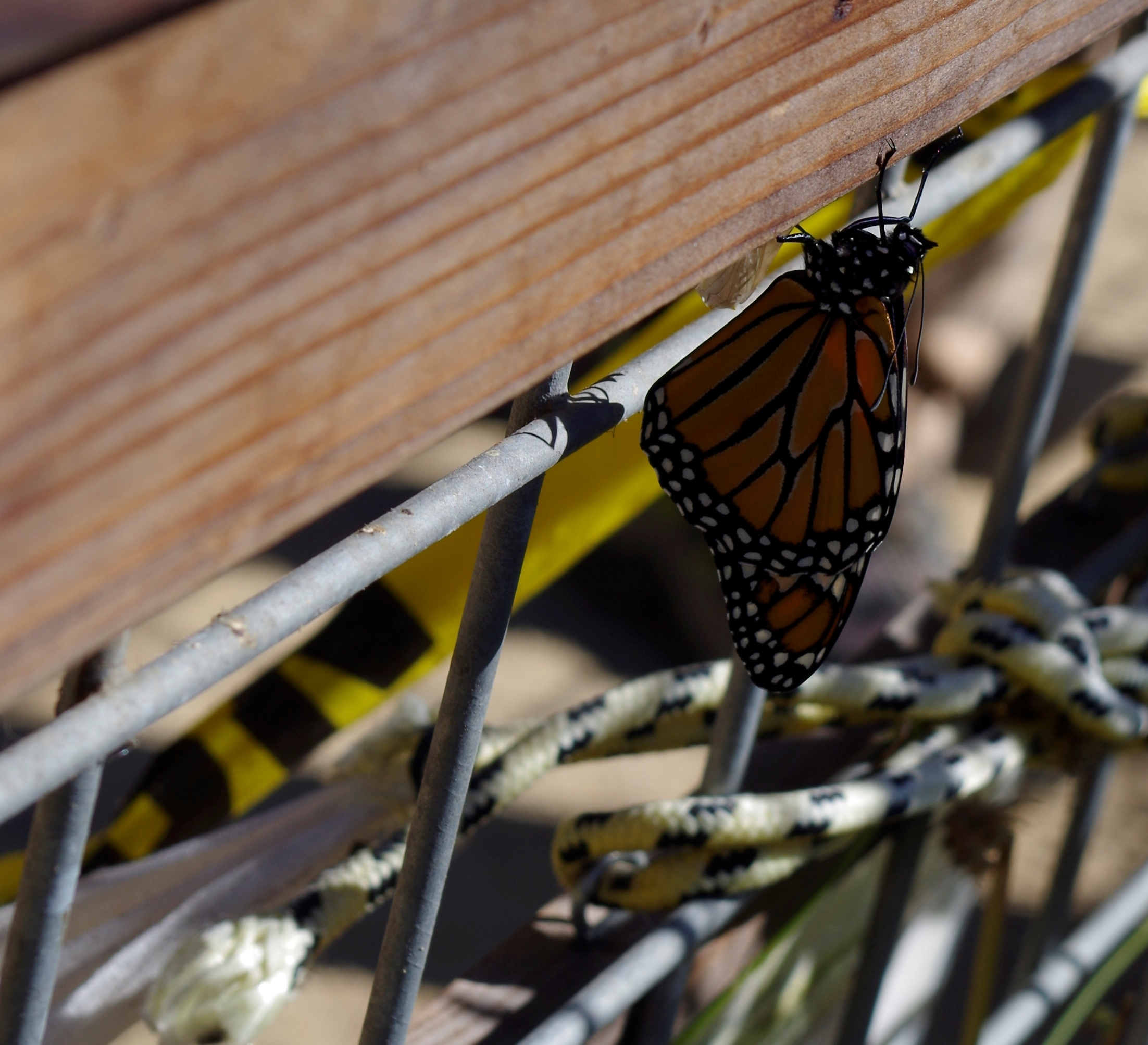 monarch closeup