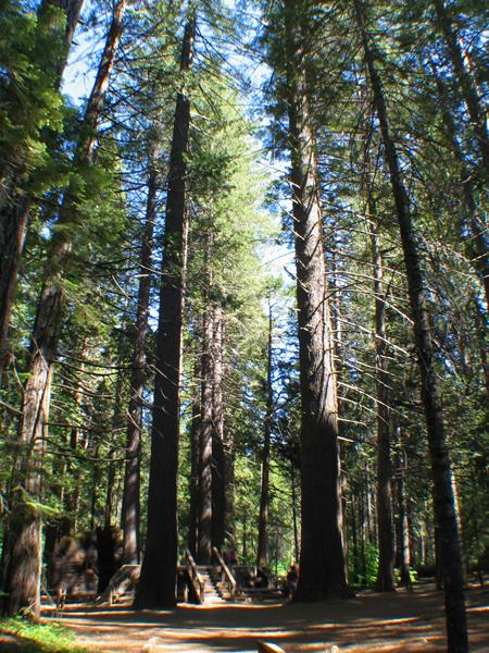calaveras big trees sp image gallery