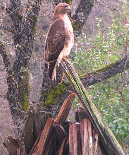 Giant hawk sitting atop bark house near grinding rock.