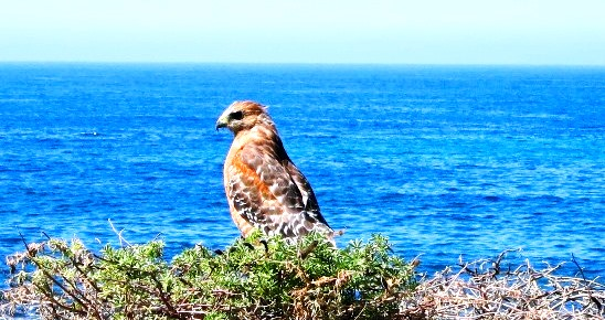 Red Shouldered Hawk in Dunes