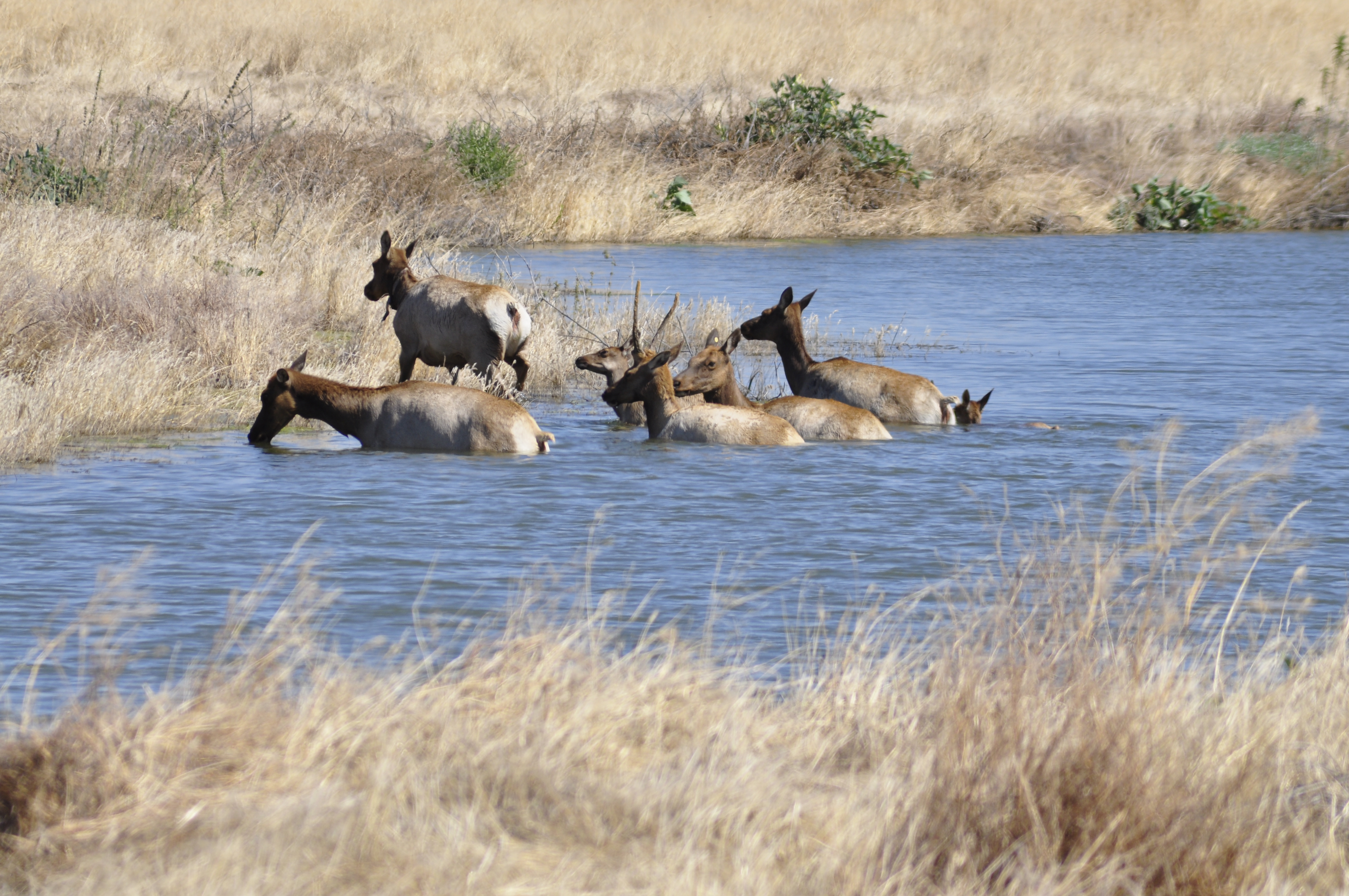 Tule Elk swiming