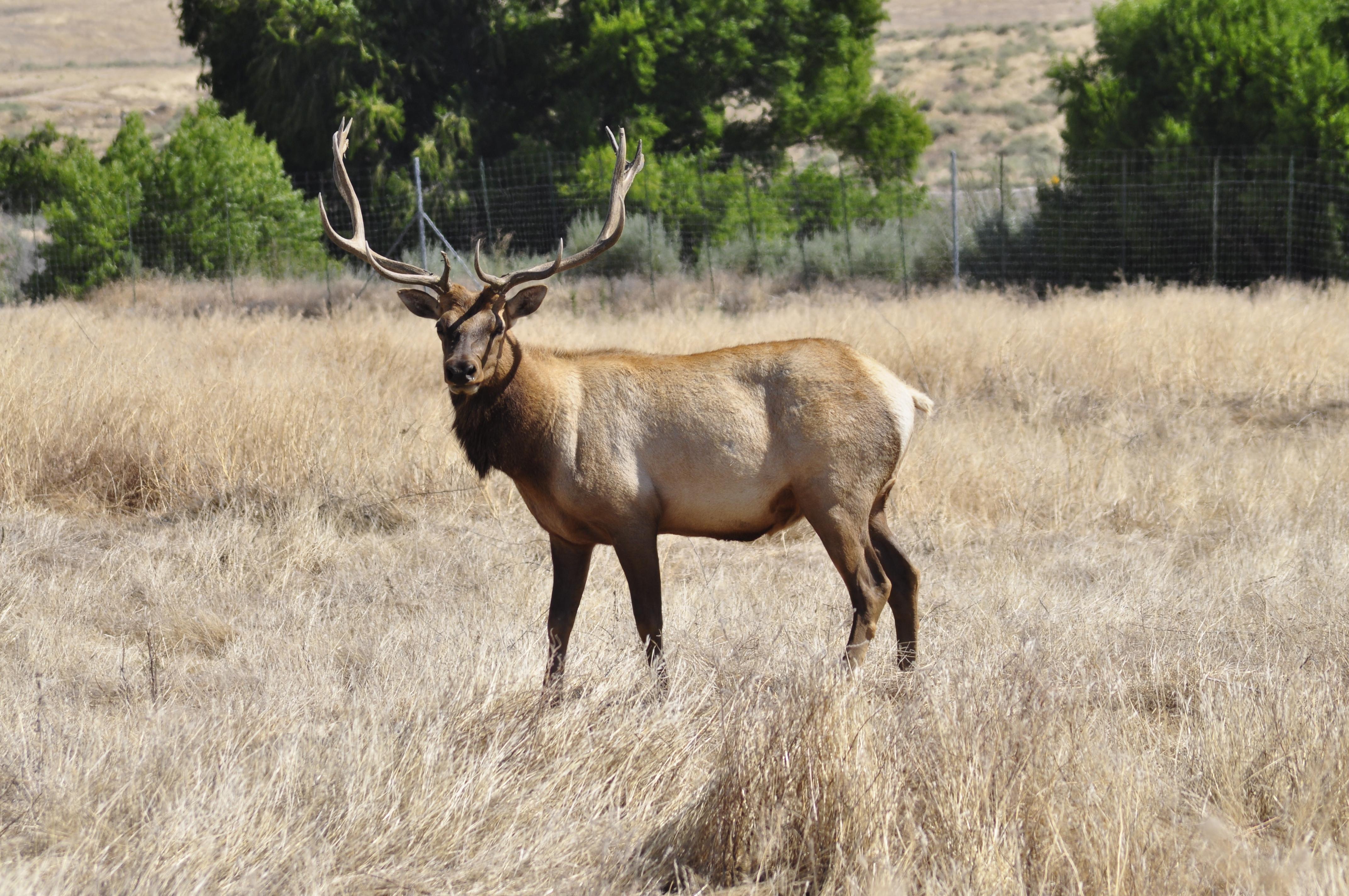 a male tule elk  Elk