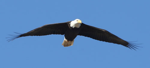 Millerton Lake Eagle Image