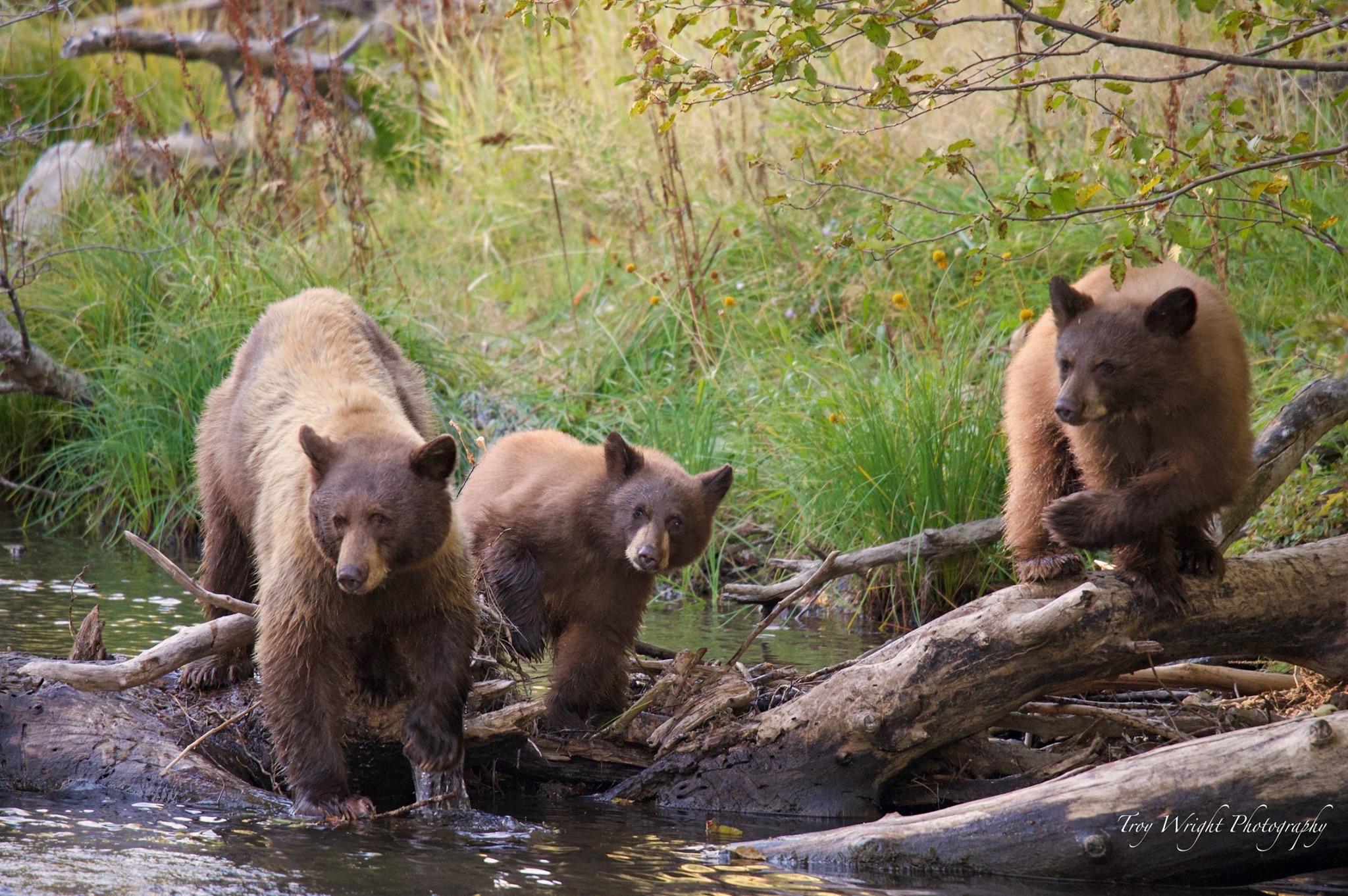 Trio of Bears photo