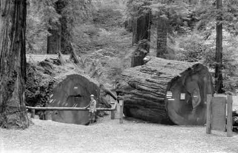 Richardson Grove tree ring exhibit, 1935