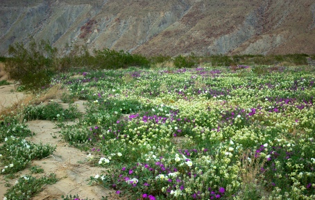 Coyote Canyon wildflowers in Anza-Borrego Desert State Park