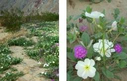 Wildflowers at Anza-Borrego Desert State Park
