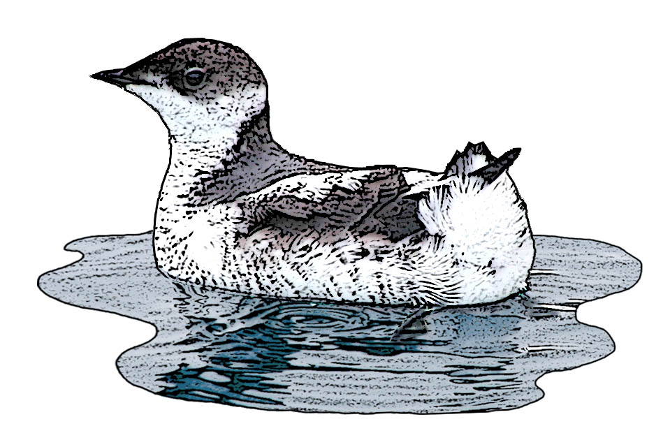 Marbled Murrelet drawing