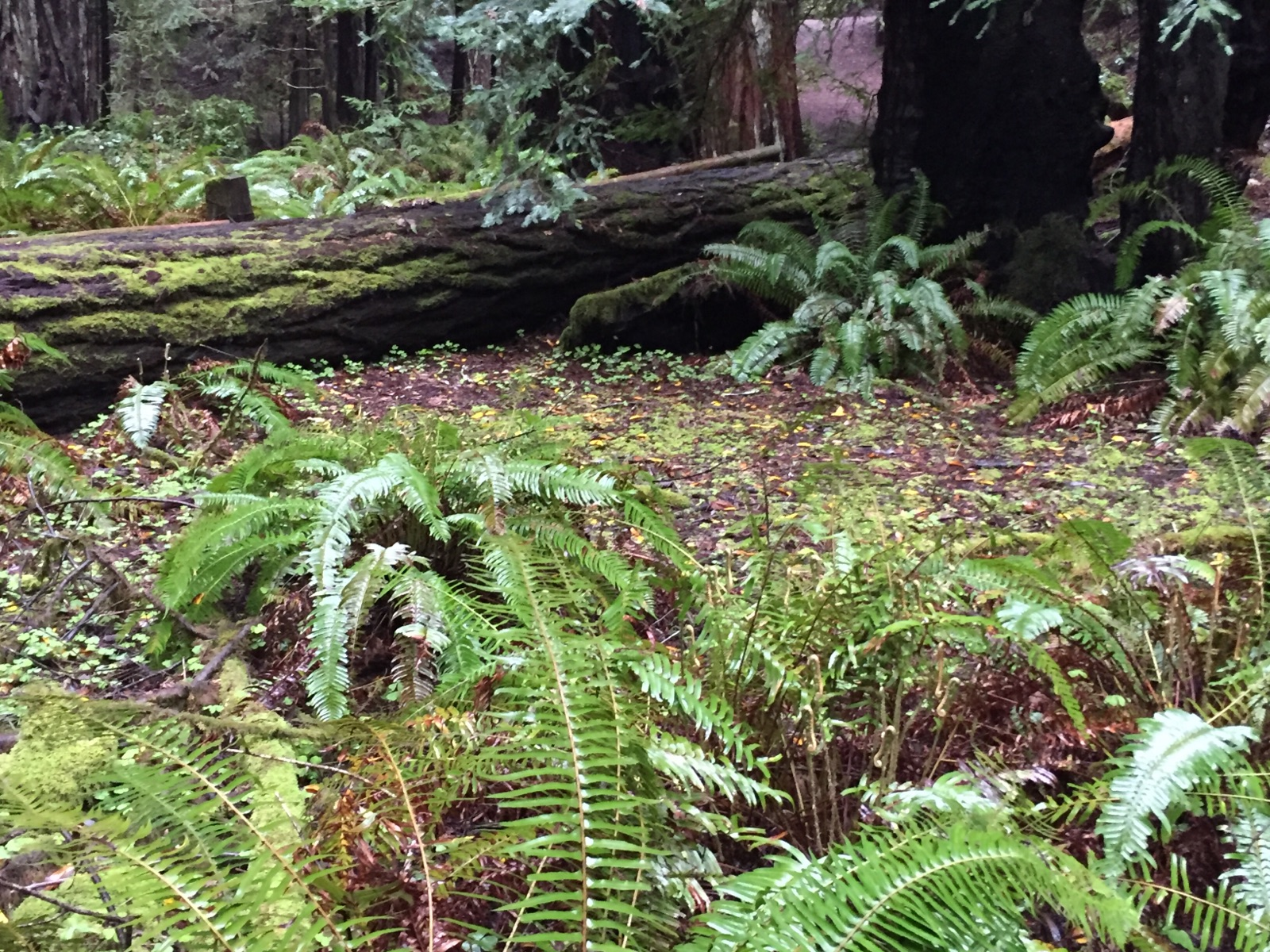 Armstrong Redwoods SNR