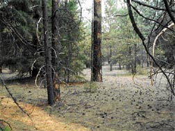 Figure 2.  Mixed-conifer forest north of Rim Campground loop.  Forest thinned in early 1980s.  Understory prescribed burn conducted in 1984.  Burn priority: second