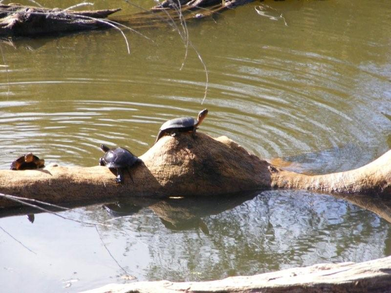 Pond Turtles on the Lake