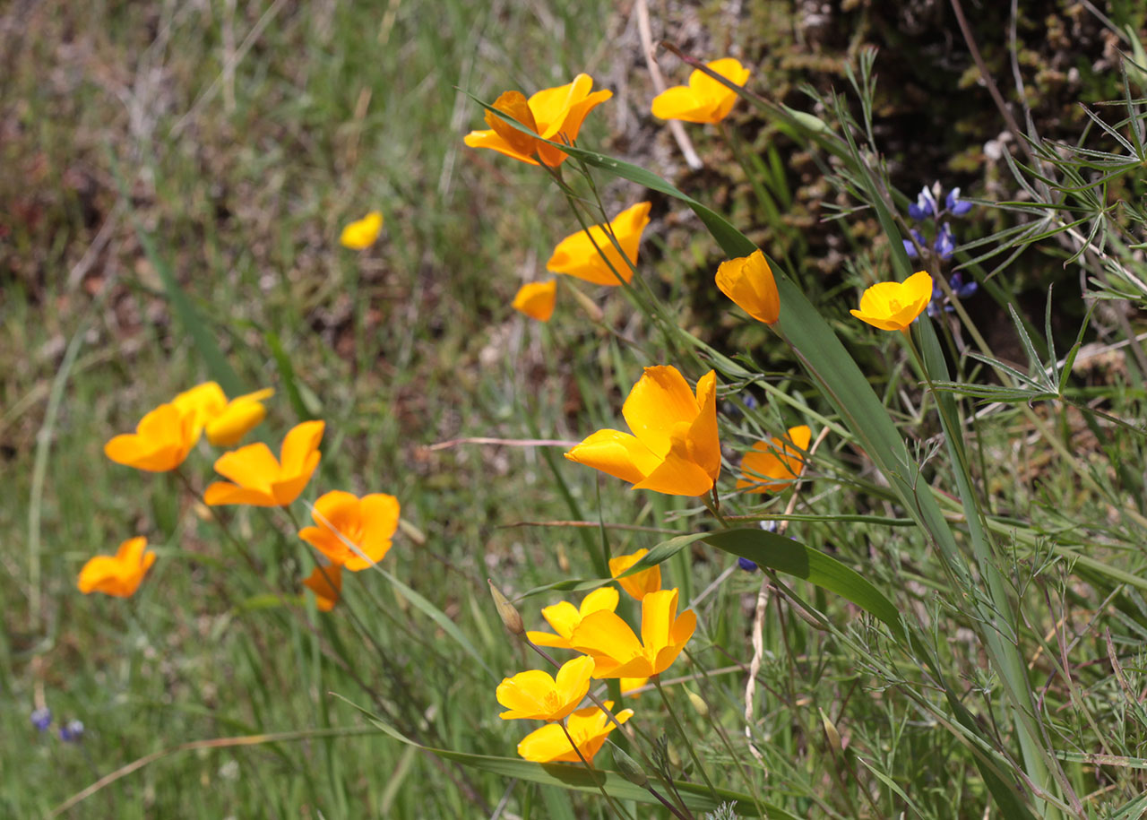 Wildflowers at South Yuba River SP