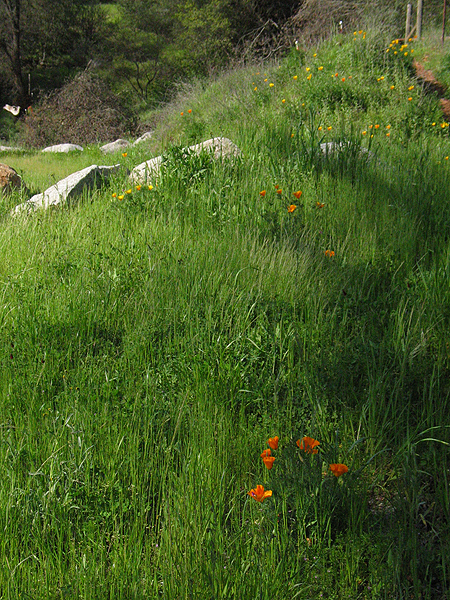 California Golden Poppies on a Hillside