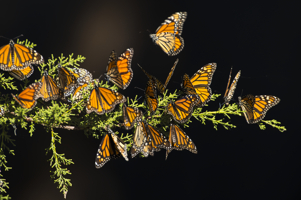 A group of orange and black monarch butterflies rest on a green tree branch.