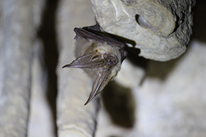 Long Eared Bat Image