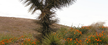 Joshua Tree and poppies at Antelope Valley California Poppy Reserve SR