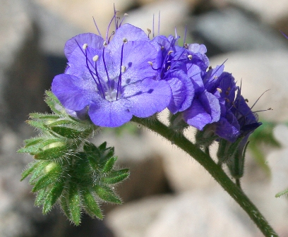 Phacelia (Wild Heliotrope) photo by Park Volunteer Grace Clark