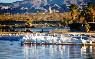 Thumbnail: Salton Sea Birds - Winter Migration