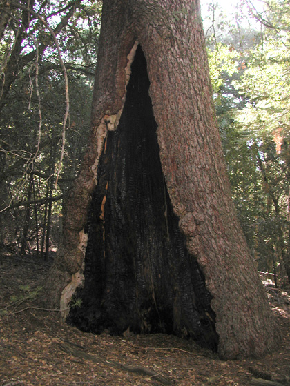 A Sugar Pine Before the Fire