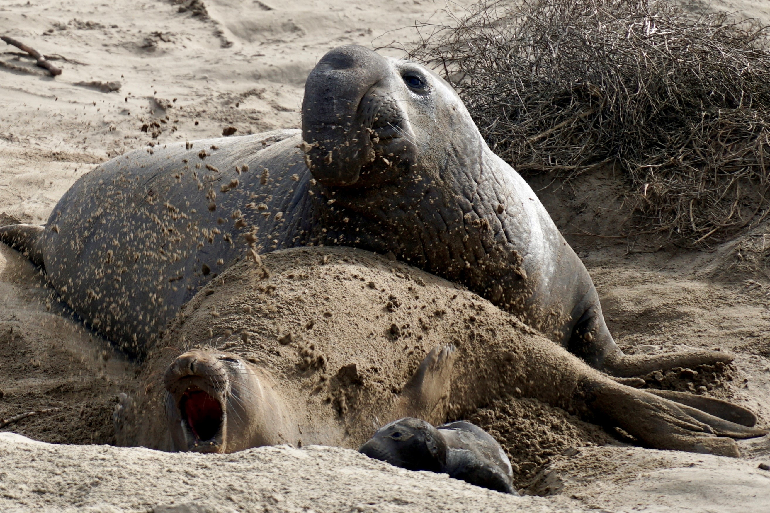 Banner for Elephant Seal Guided Walks Reservations at Año Nuevo State Park to Begin Early October
