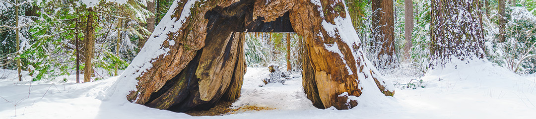 "Banner for California State Parks Begins Study of Fallen, Iconic ""Tunnel Tree"" in Calaveras Big Trees State Park"