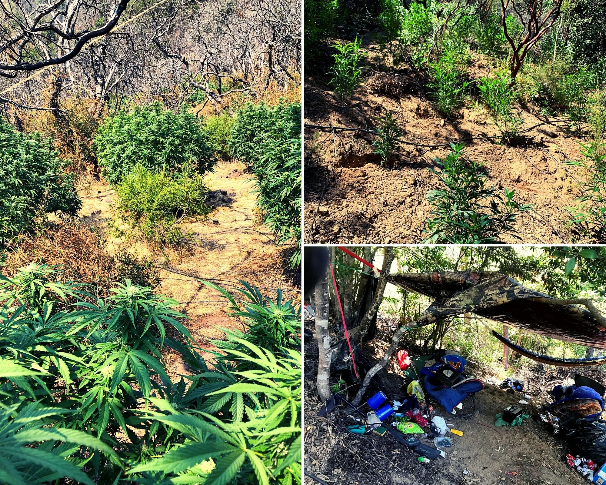 Left: Cannabis plants at Sugarloaf Ridge State Park. Top right/bottom: Cannabis grow and An illegal campsite at Robert Louis Stevenson State Park.