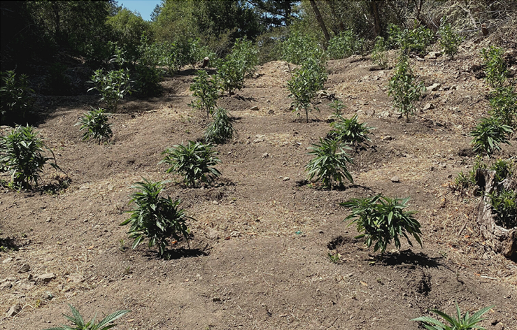 1,500 cannabis plants located inside Sonoma Coast State Park.