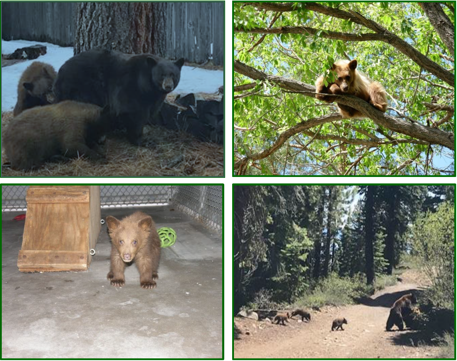 Photo captions/credit L-R: Black bear sow with yearlings (medium dog size) courtesy CDFW; Yearling on its own in tree (medium dog size) courtesy NDOW; Cub of the year (cat size) in a rehabilitation facility courtesy CDFW; and Sow with cubs of the year (cat size) courtesy David Braun, LTBMU.