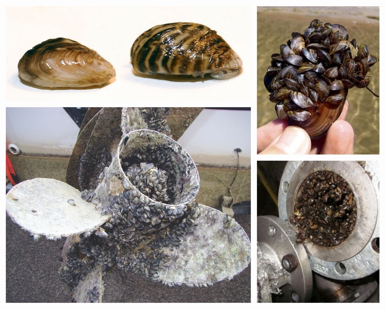 Top left: Quagga (left) and zebra mussel (right). Photo from Michigan Sea Grant. Top right: Mass of quagga mussels. Photo from Division of Boating and Waterways. Bottom left: Quagga mussels on a propeller. Photo from California Dept. of Fish and Wildlife. Bottom right: Zebra mussels inside a pipe.